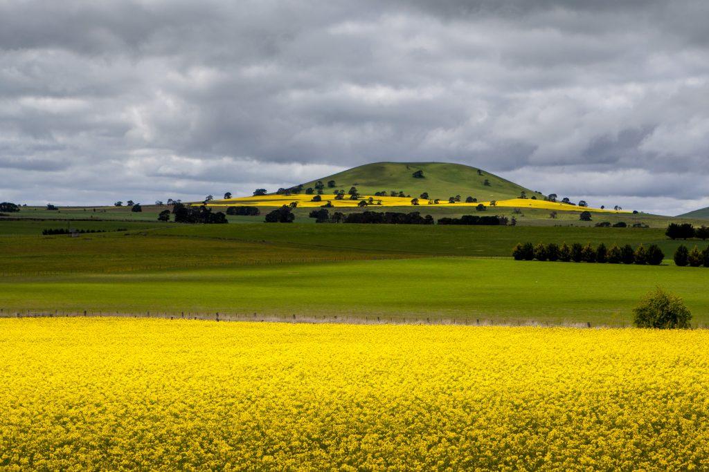 Canola field photography