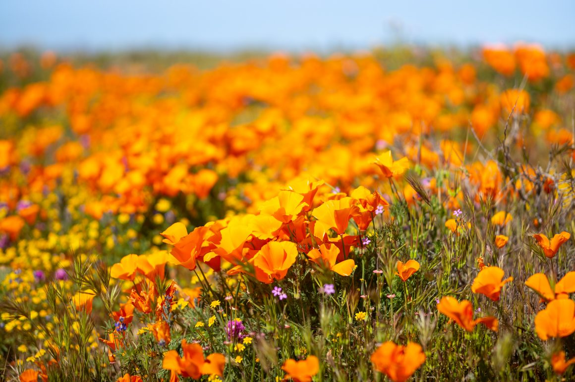 LOCATION – ANTELOPE VALLEY SUPER BLOOM, CALIFORNIA